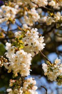 Sipplingen Blütenweg